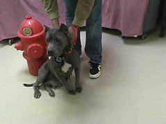 Solid Blue Grey Cropped Pit Bull Female