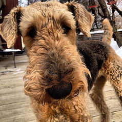 Daphney the Airedale Terrier.