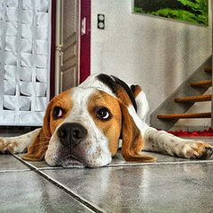 And ... Heliott the #Beagle #Dog...