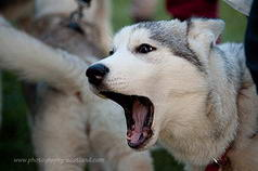 Sled dogs at Edinburgh's Dogmanay event