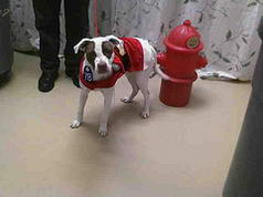 Red White Spot Pit Bull in Santa Costume