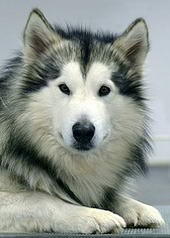 Tugg the Alaskan Malamute