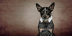 White Collar Cattle Dog