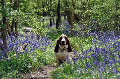 Basset in Bluebell wood