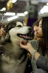 Alaskan Malamute at Westminster Kennel Club Dog Show Benching Photos