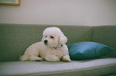 Bichon and Pillow