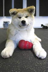 Puppy with a side of Greyhound - Akita Inu
